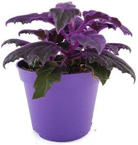 violette Samtnessel – Gynura aurantiaca – fantastische Zimmerpflanze für einen hellen Fensterplatz – beeindruckender Schimmer der Blätter – eine außergewöhnliche Zimmerpflanze